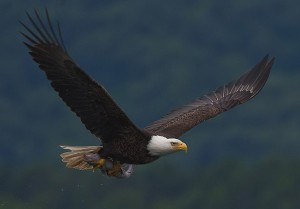 Bald-eagle-with-fish