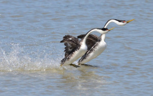 W-Grebes